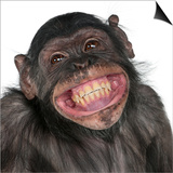 Close-Up Of Mixed-Breed Monkey Between Chimpanzee And Bonobo Smiling, 8 Years Old Print by  Life on White