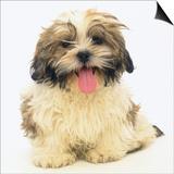 Shih Tzu Puppy Panting Prints by Pat Doyle