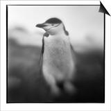 Antarctica, Deception Island, Chinstrap Penguin. Prints by Paul Souders
