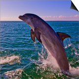 Dolphin Leaping from Sea, Roatan Island, Honduras Print by Keren Su