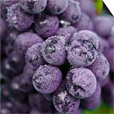 Chianti Grapes Ready for Harvest, Greve, Tuscany, Italy Art by Richard Duval