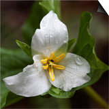 Trillium Flower, Mount Baker-Snoqualmie National Forest, Washington, USA Prints by Jamie & Judy Wild