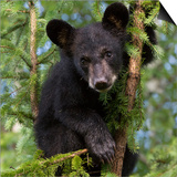 USA, Minnesota, Minnesota Wildlife Connection. Black bear in a tree. Poster by Wendy Kaveney