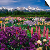 Iris and Lupin Garden, Teton Range Posters by Adam Jones
