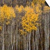 Aspen Trees 2 Prints by Jamie Cook