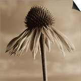 Lone Coneflower Prints by Tom Marks