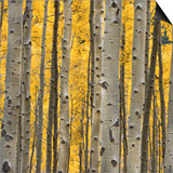 Aspen Trees 3 Posters by Jamie Cook
