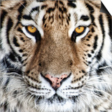 Bengal Tiger Eyes Prints by C. McNemar