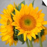 Sunny Sunflower III Print by Nicole Katano