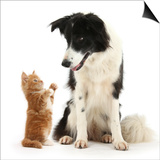 Black-And-White Border Collie Looking at Ginger Kitten Prints by Mark Taylor