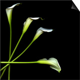 White Calla Lily 2 Prints by Magda Indigo
