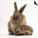 Baby Hedgehog and Young Lionhead-Cross Rabbit Prints by Mark Taylor