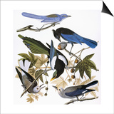 Audubon: Jay And Magpie Prints by John James Audubon