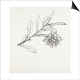 Arbutus unedo Prints by Graham Stuart Thomas