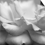 Rose Petals II Poster by Nicole Katano