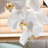 White Orchids II Posters by Nicole Katano