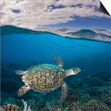 Endangered Hawksbill Sea Turtle (Eretmochelys Imbricata), Tubbataha Reef, Philippines Posters by David Fleetham
