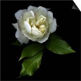 White Rose Print by Magda Indigo