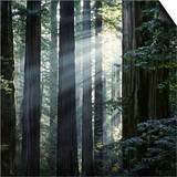 Sunbeams Coming Through Trees in a Redwood Forest Prints by Diane Miller