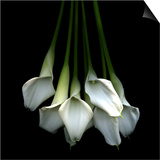 White Callas Print by Magda Indigo