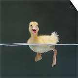 Duckling Swimming on Water Surface, UK Prints by Jane Burton