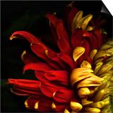 Flamenco Duotoned Chrysanthemum Print by Magda Indigo