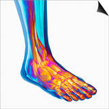 Human Ankle Showing Bones and Muscles Posters by Carol & Mike Werner