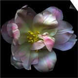 Pink Tulip Prints by Magda Indigo