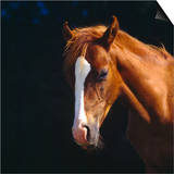Chestnut Horse with White Blaze, Head Portrait Posters by Jane Burton