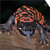 Gila Monster (Heloderma Suspectum), Captive Posters by Michael Kern