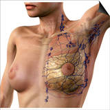 Breast Lymphatic System, Artwork Prints