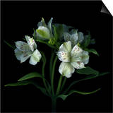 White Alstroemeria Posters by Magda Indigo