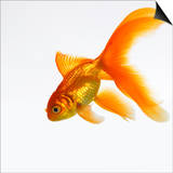 Goldfish Art by Mark Mawson