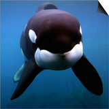 Keiko the Killer Whale Prints
