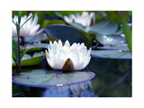 Water Lily Still Photographic Print by Alaya Gadeh