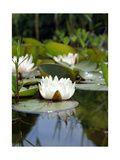 White Water Lily In Pond II Photographic Print by Alaya Gadeh