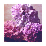 Violets Hyazinths Photographic Print by Alaya Gadeh