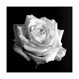 White Rose II Photographic Print by Alaya Gadeh