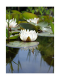 White Water Lily In Pond III Photographic Print by Alaya Gadeh