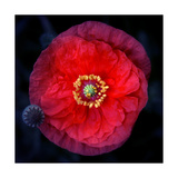 Papaver Purple Red Photographic Print by Alaya Gadeh