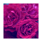 Red Violet Roses Photographic Print by Alaya Gadeh