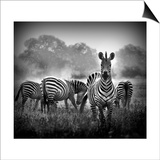 Zebra In Black And White Posters by  Donvanstaden