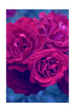 Purple Garden Roses Photographic Print by Alaya Gadeh