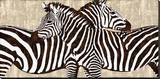 Zebra Gathering Stretched Canvas Print by Darren Davison