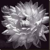 White Dahlia II Stretched Canvas Print by Caroline Kelly