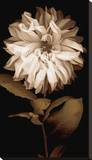 Dahlia I Stretched Canvas Print by Caroline Kelly