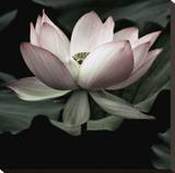 The Lotus I Stretched Canvas Print by Andy Neuwirth