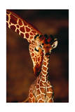 Giraffe and Baby Posters av  Lantern Press