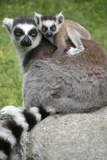 Ring Tailed Lemur and Baby Posters by  Lantern Press