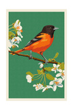 Oriole and Blossoms Affiches
